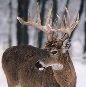Big Game Species - Whitetail