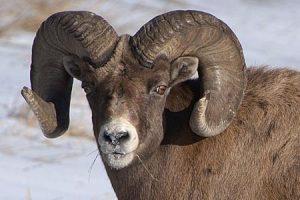 Big Game Species - Big Horn Sheep