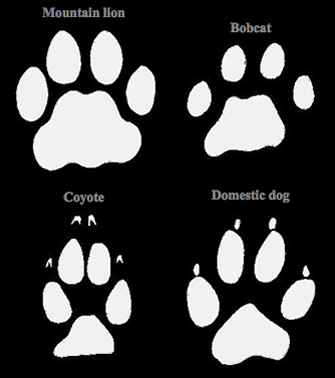 Mountain Lion - Tracks