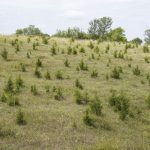 encroachment of eastern red cedar trees