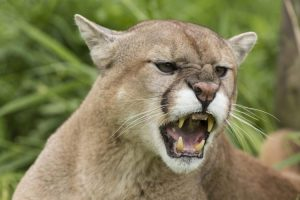 Big Game Species - Mountain Lion