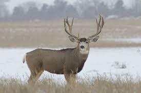 Big Game Species - Mule Deer