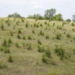 encroachment of eastern red cedar trees